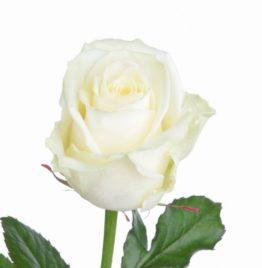 Купить розу Аваланж в Минске