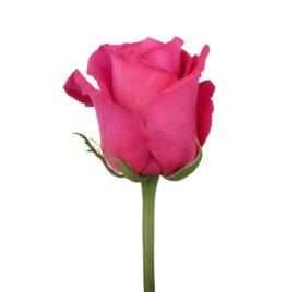 Розовые розы Pink Floyd в Минске