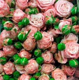 Купить кустовую пионовидную розу Madam Bombastic в Минске