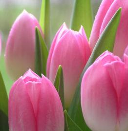 Купить фиолетовые тюльпаны в Минске