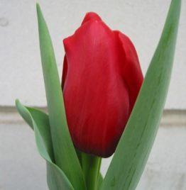 Купить красные тюльпаны в Минске