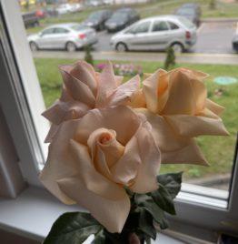 Купить французскую розу в Минске